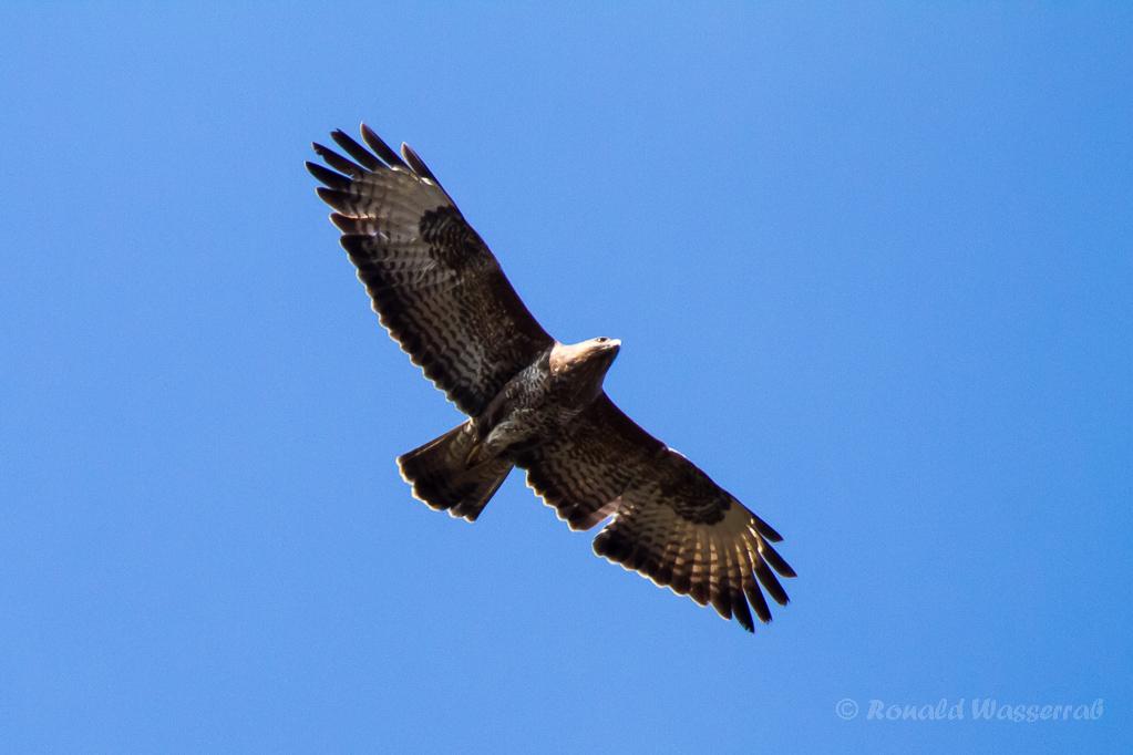 Greifvogel über dem Hochmoor