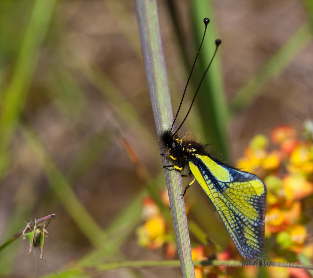 Libellen-Schmetterlingshaft in Ruhestellung