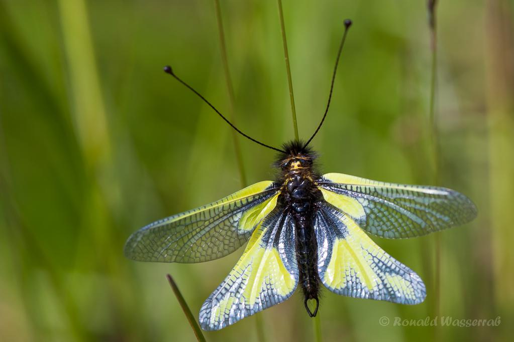 Libellen-Schmetterlingshaft (Männchen)