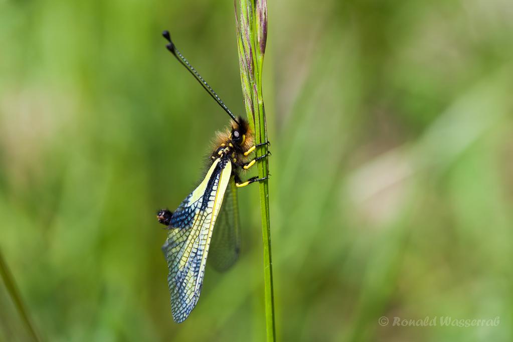 Libellen-Schmetterlingshaft (Weibchen)