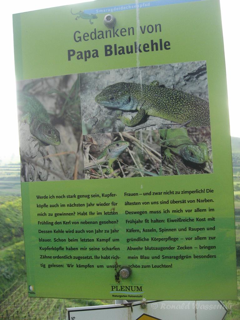 "Info-Tafel Smaragdeidechsen ""Papa Blaukehle"""