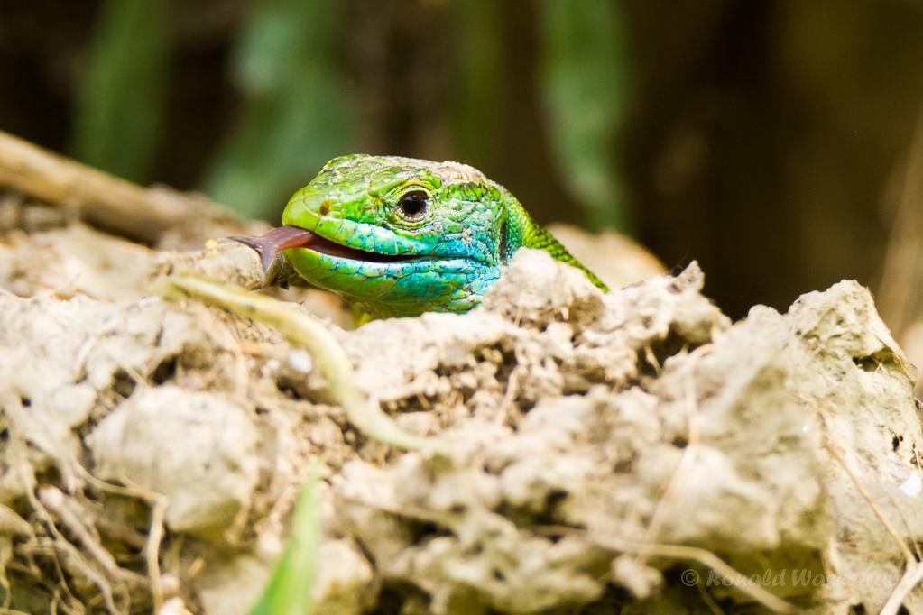 Westliche Smaragdeidechse (Männchen)