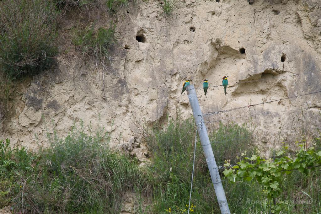 Bienenfresser am Smaragdeidechsen-Pfad Oberbergen
