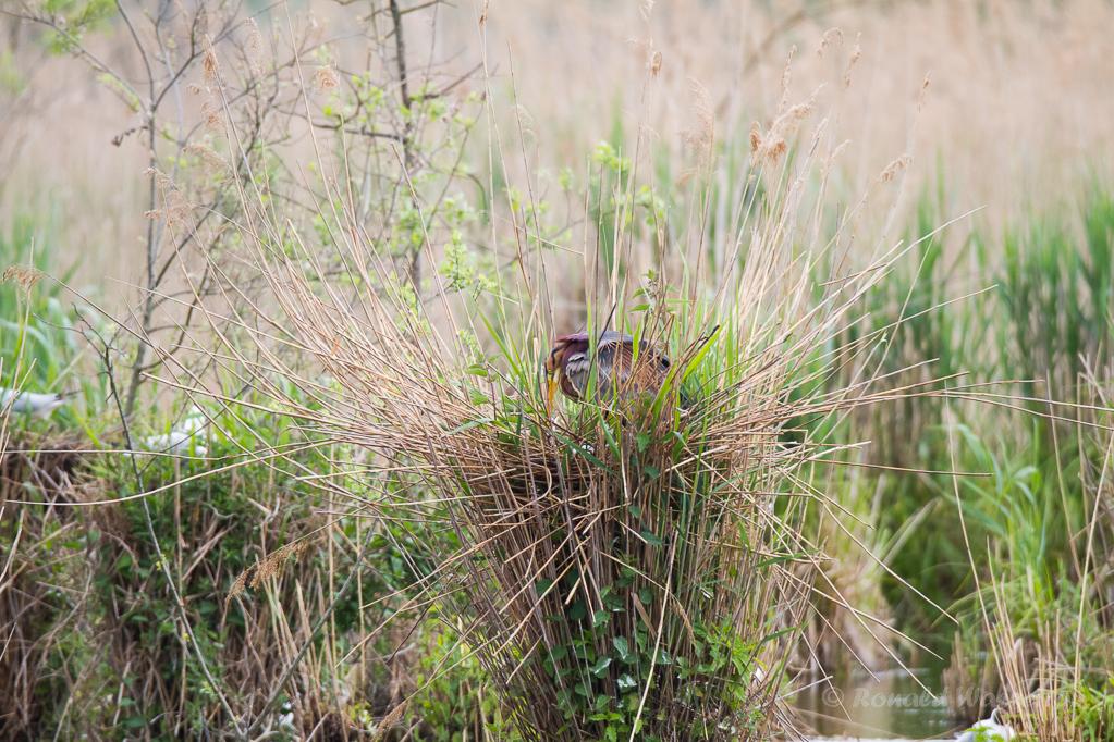 Purpurreiher mit Eiern im Nest