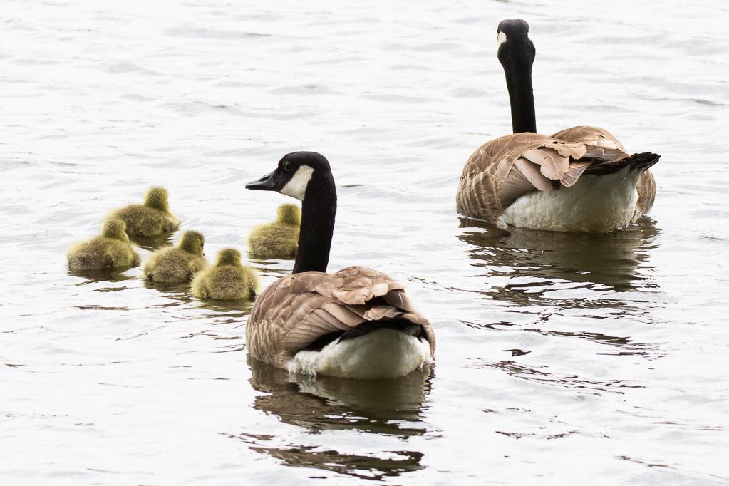 Kanadagans-Familie