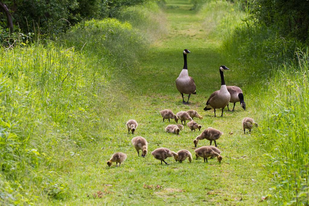 Kanadagans-Familie auf Wiesenweg