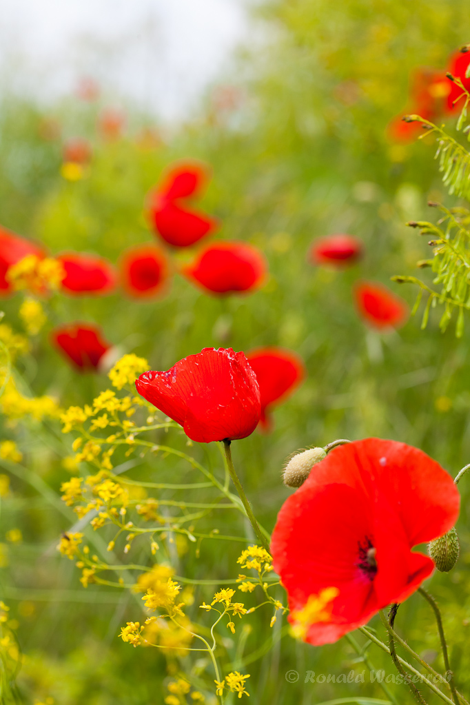 Klatschmohn-Blüte am Smaragdeidechsen-Pfad