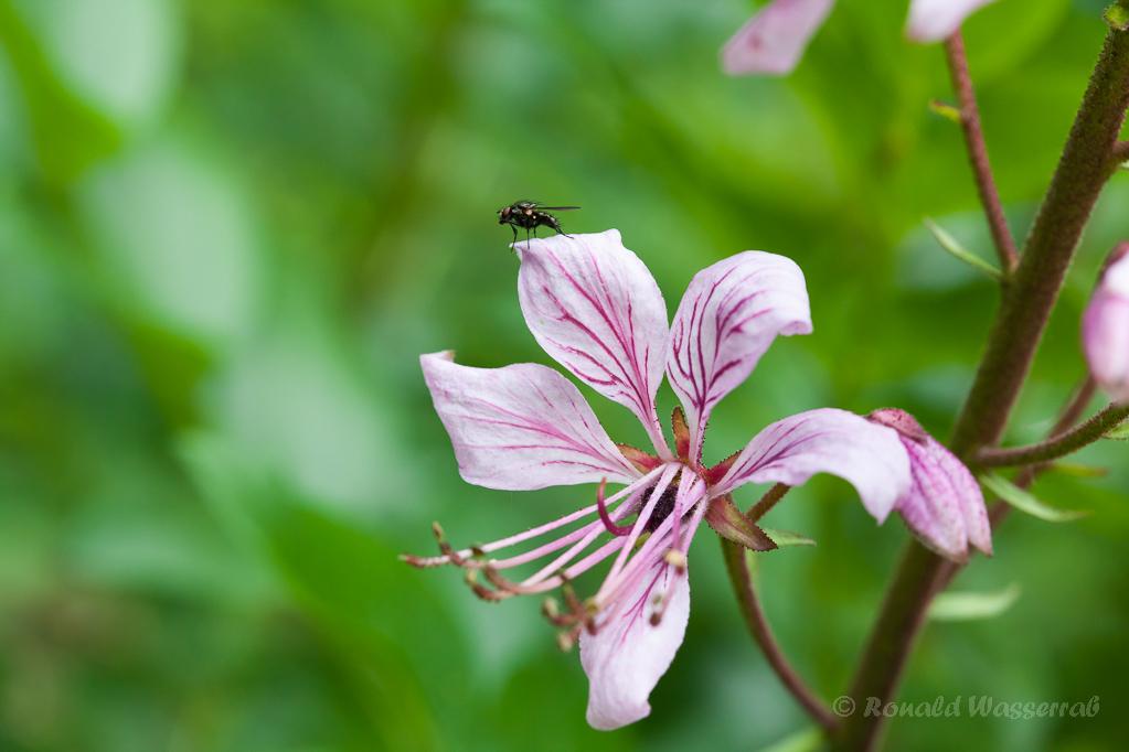 Fliege auf Diptam am Büchsenberg Niederrotweil