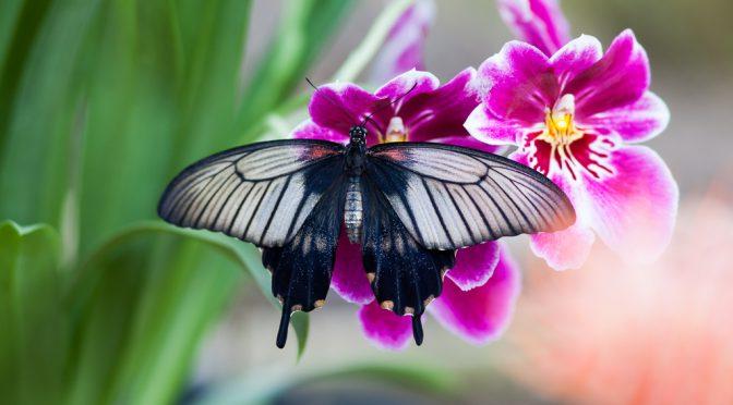 Tropische Schmetterlinge in der Eifel – Entdeckungen bei Blankenheim