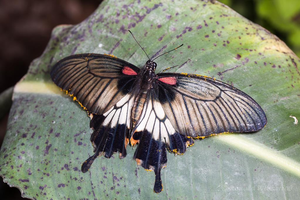 Papilio memnon/lowi