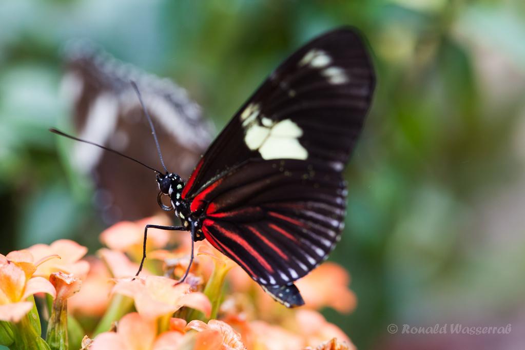 Heliconius doris (ein Passionsblumen-Falter)
