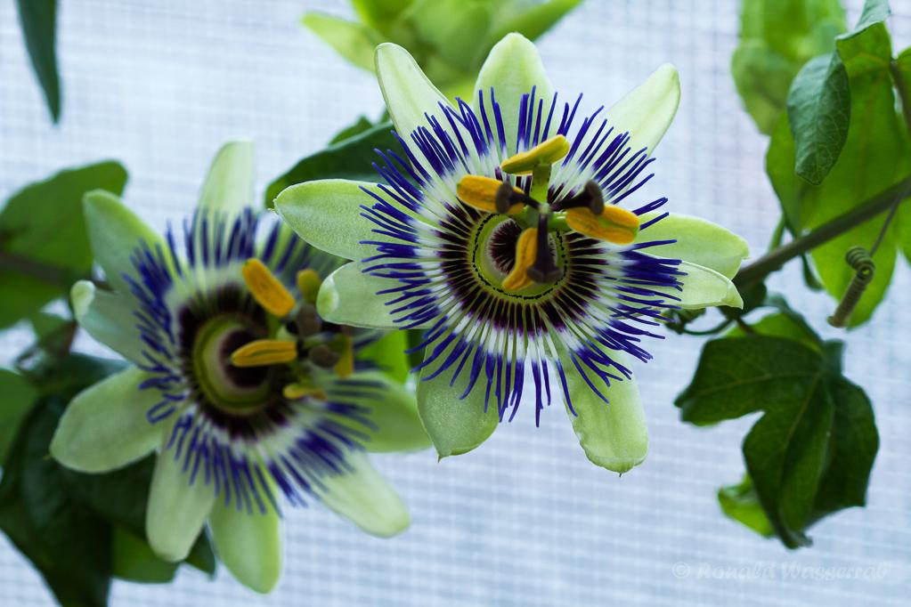 Blaue Pasionsblume