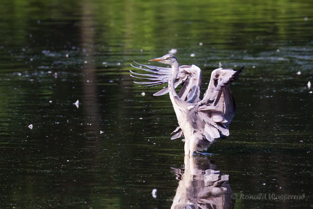 Graureiher landet im Rohrdommel-Projekt