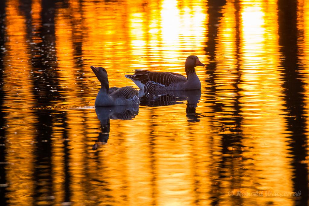 Graugänse bei Sonnenuntergang