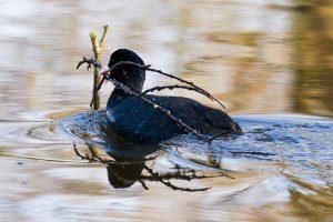 Blässhuhn beim Nestbau