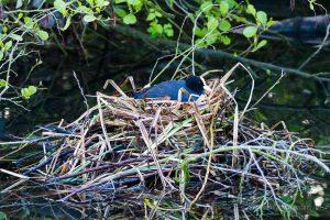 Die Blässhühner brüten in dem Nest, das die Haubentaucher begonnen haben zu bauen