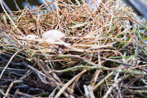 Wenn die Eier kurz alleine gelassen werden, sind sie in Gefahr