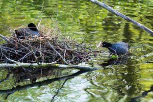 Während der Brut wird das Nest immer weiter vervollständigt