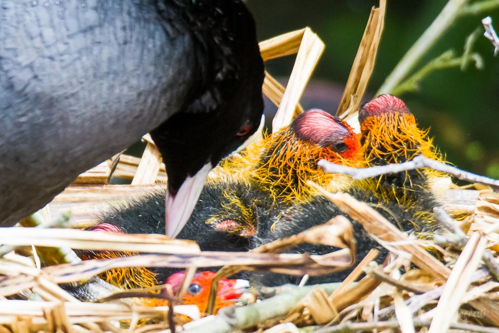 Blässhuhnküken im Nest auf der Nette