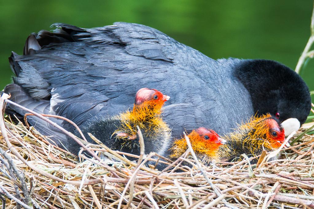 Blässhuhn mit Küken im Nest