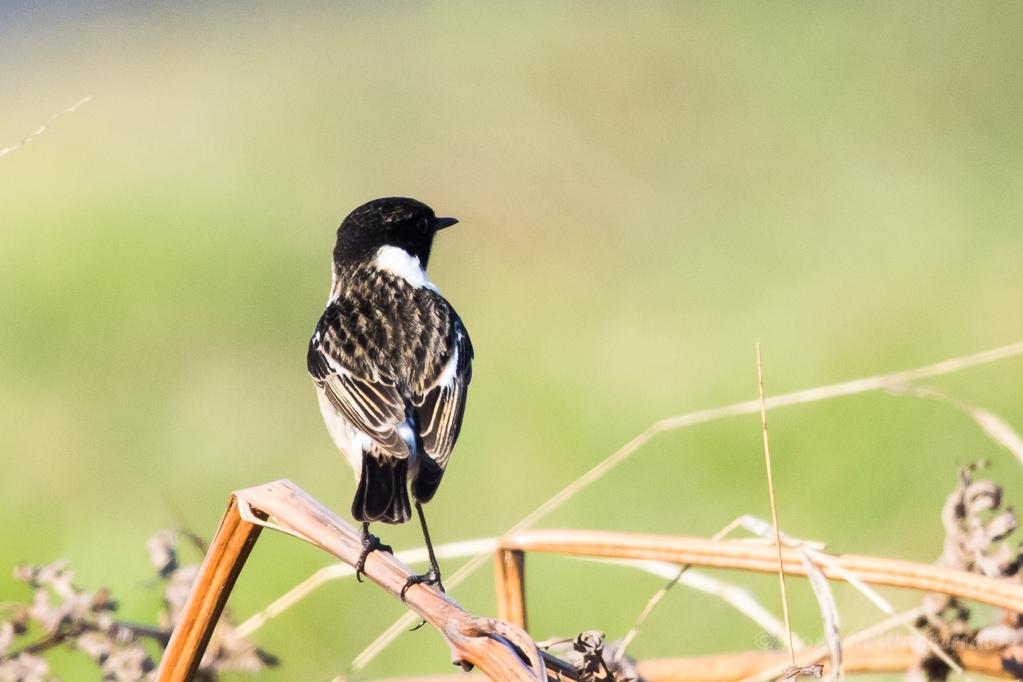 Schwarzkehlchen-Männchen in De Groote Peel