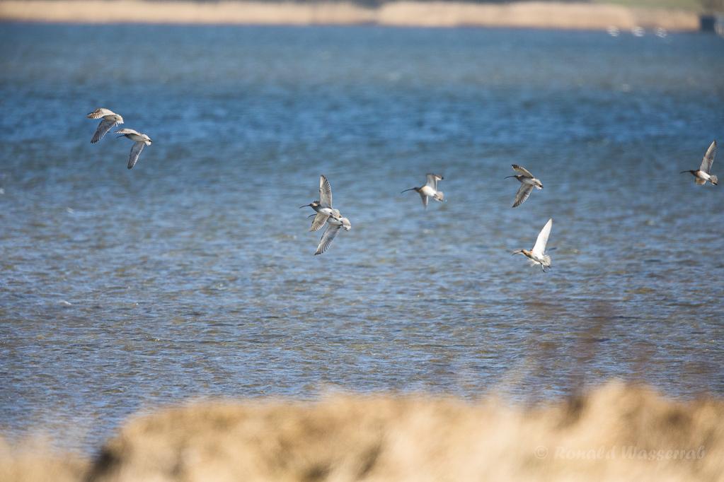 Fliegende Große Brachvögel