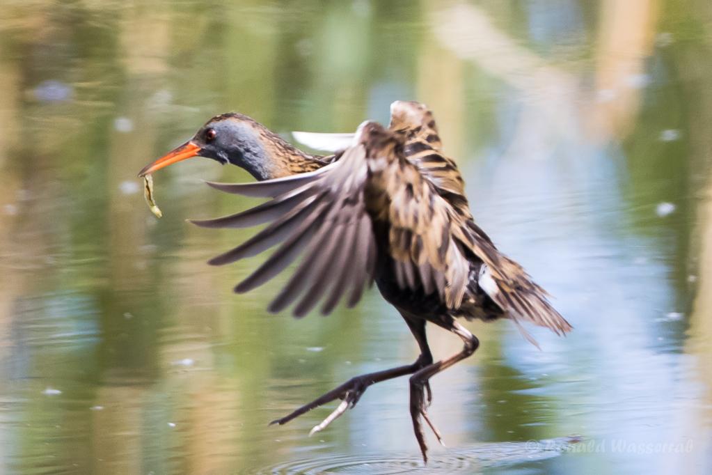 Fliegende Wasserralle