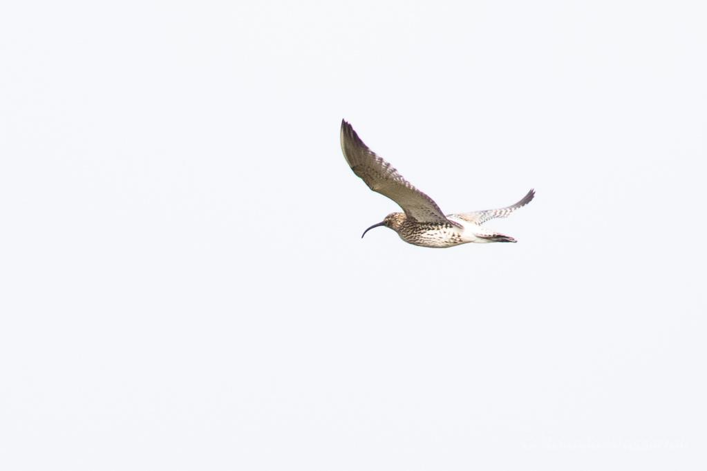 Fliegender Großer Brachvogel