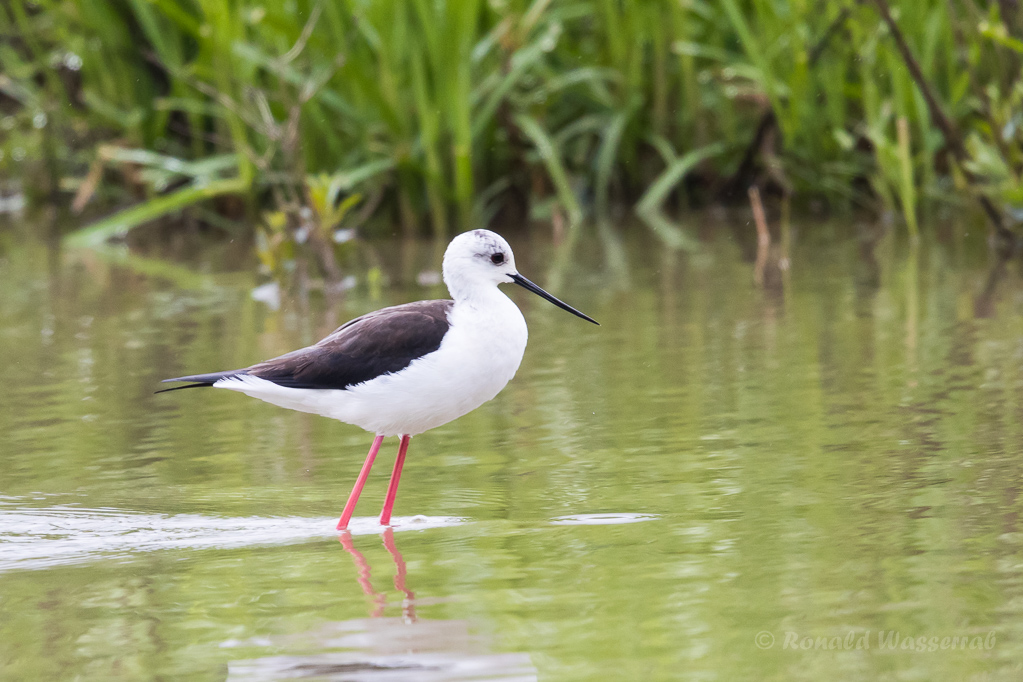 Stelzenläufer-Weibchen am Flachsee