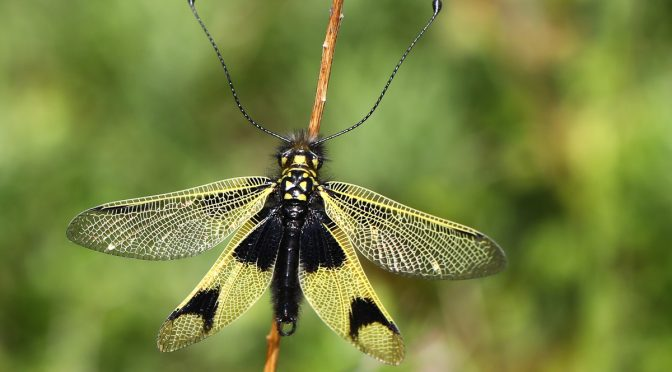 Der Würger vom Kaiserstuhl und die Haft – Langfühlerige Schmetterlingshaft und Neuntöter