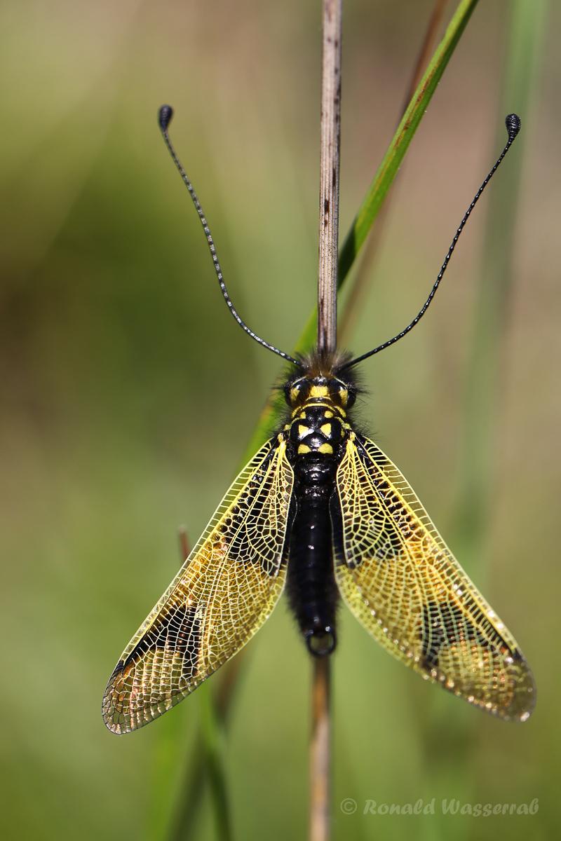 Langfühlerige Schmetterlingshaft