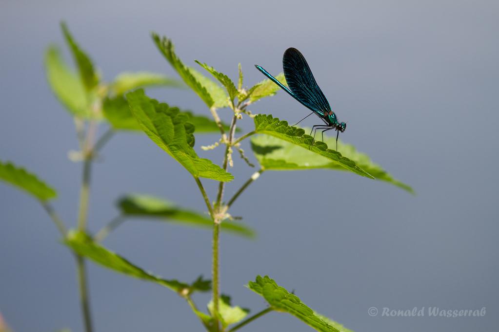 Männchen der Blauflügel-Prachtlibelle