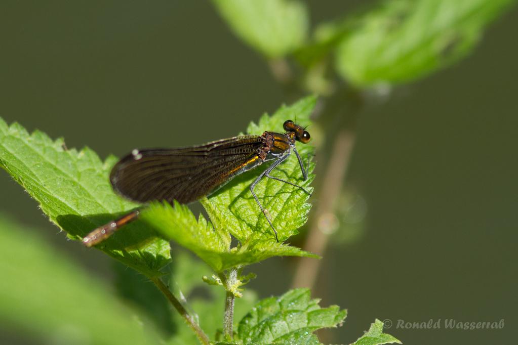 Weibchen der Blauflügel-Prachtlibelle