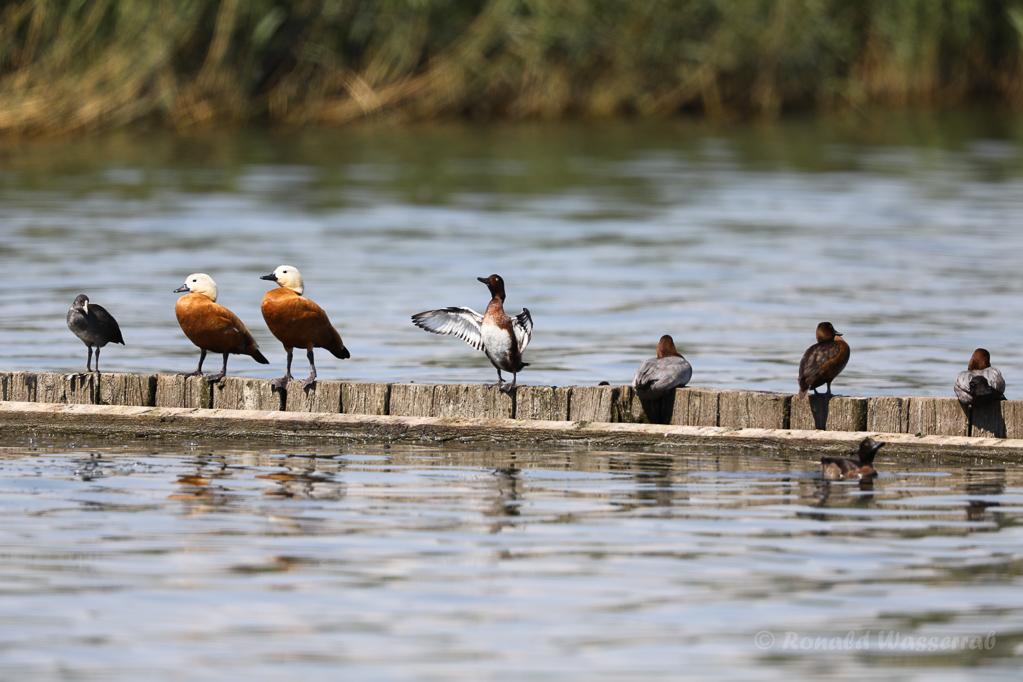 Moorente neben anderen Vögeln auf Buhne