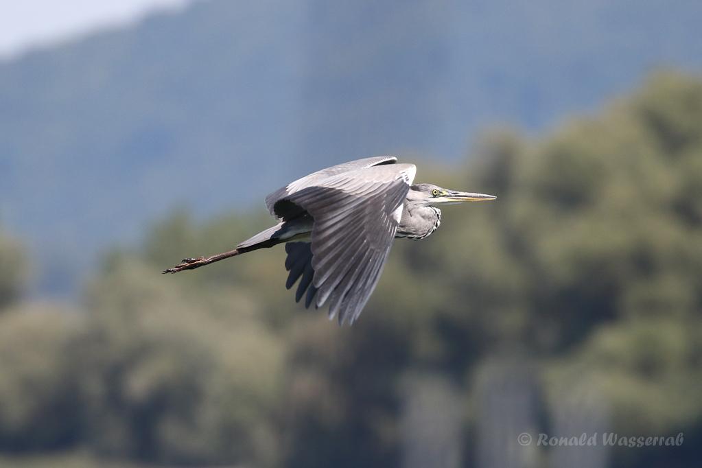 Fliegender Graureiher in Moos