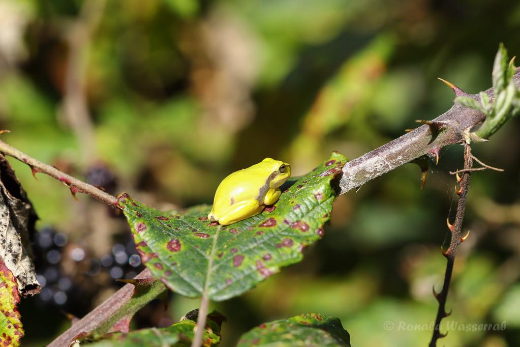 Ein Brombeerblatt bietet den kleinen Amphibien reichlich Platz