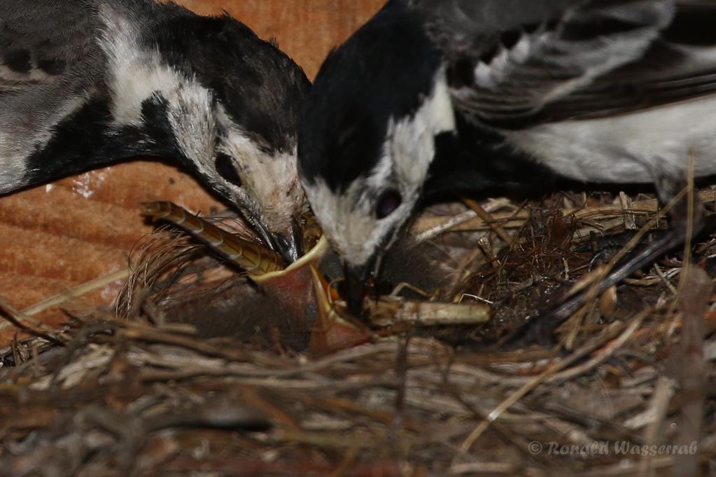 Bachstelze beim Füttern des Nachwuchses
