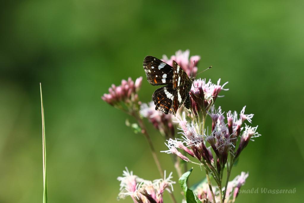 Sommergeneration des Landkärtchens