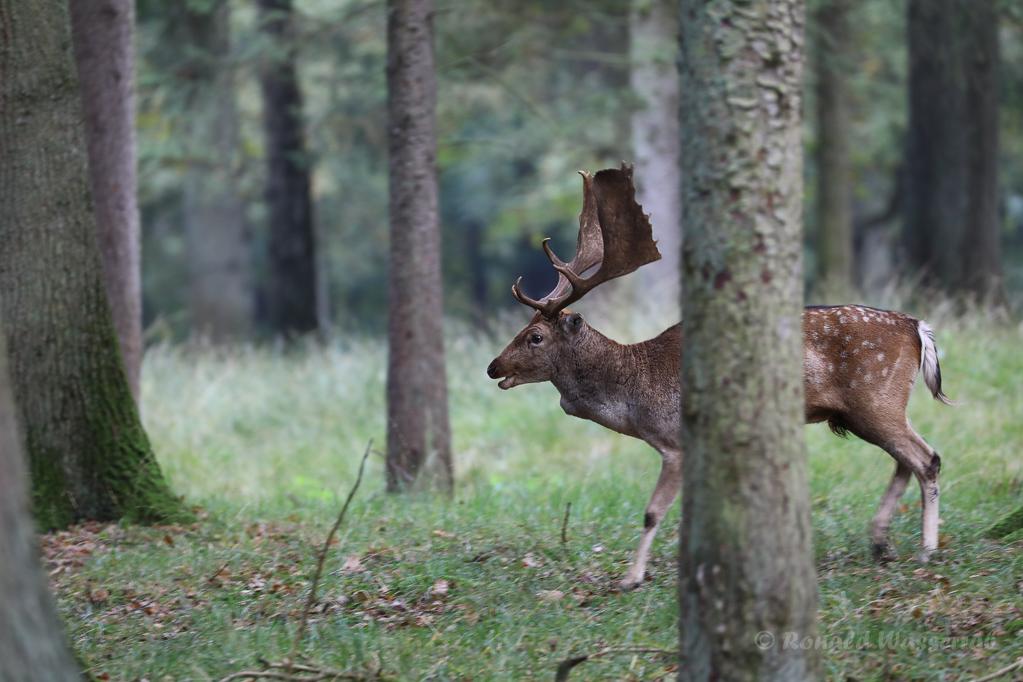 Damhirsch im Wildpark Dülmen