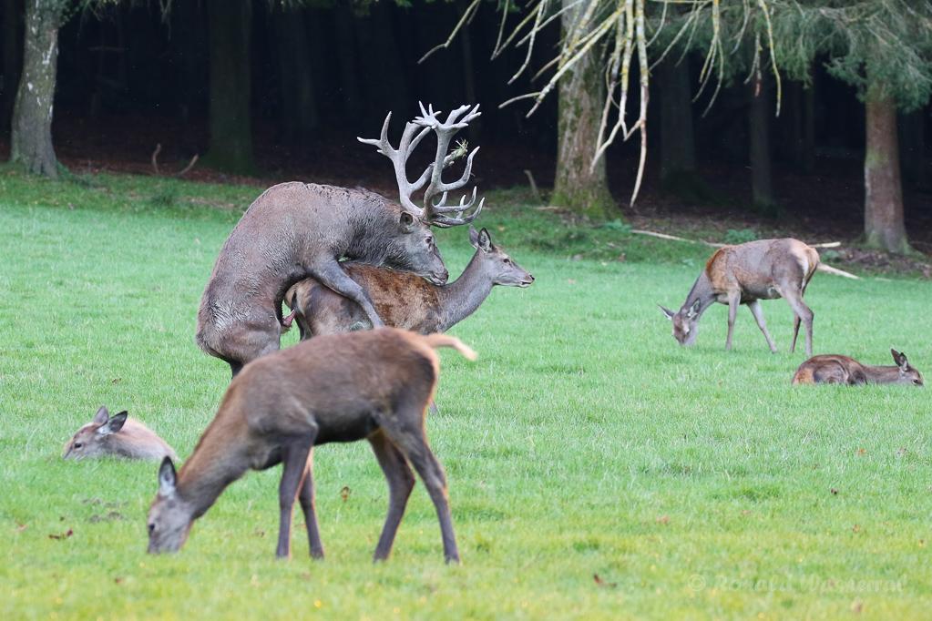 Hirschpaarung im Wildwald Voßwinkel