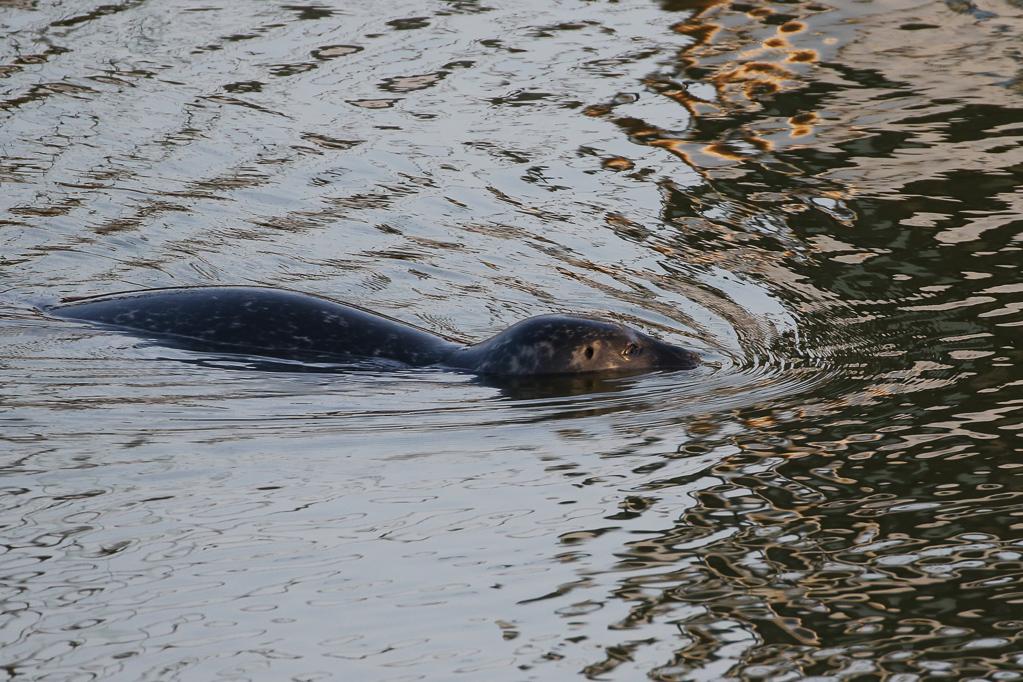 Seehund im Büsumer Hafen