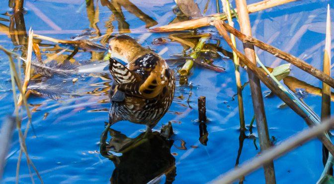Ein Sumpfhuhn ist selten allein – Beobachtungen bei Koblenz und Bregenz