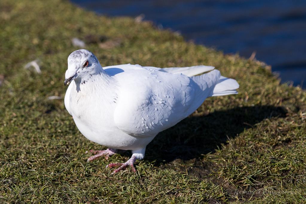 Weiße Taube in den Bonner Rheinauen