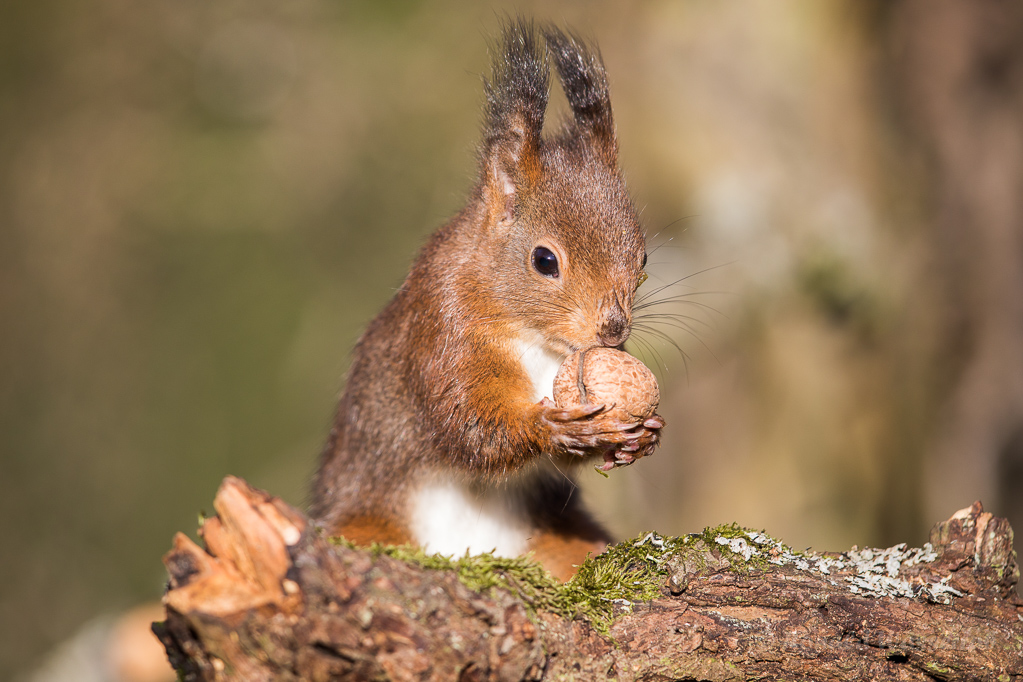 Eichhörnchen
