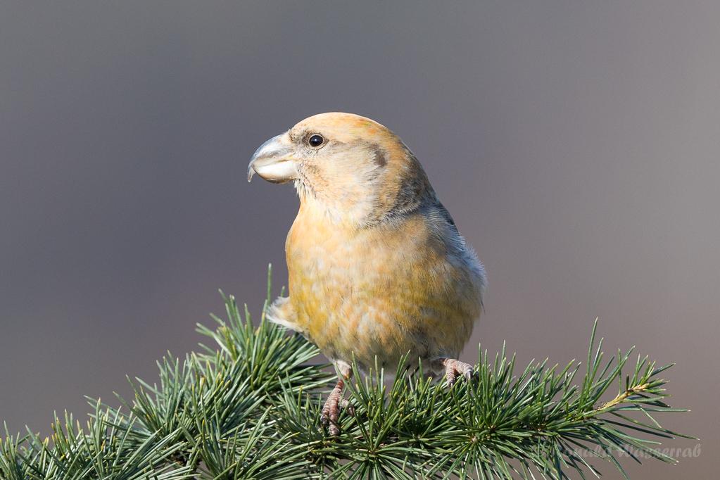 Kiefernkreuzschnabel Driebergen (NL)