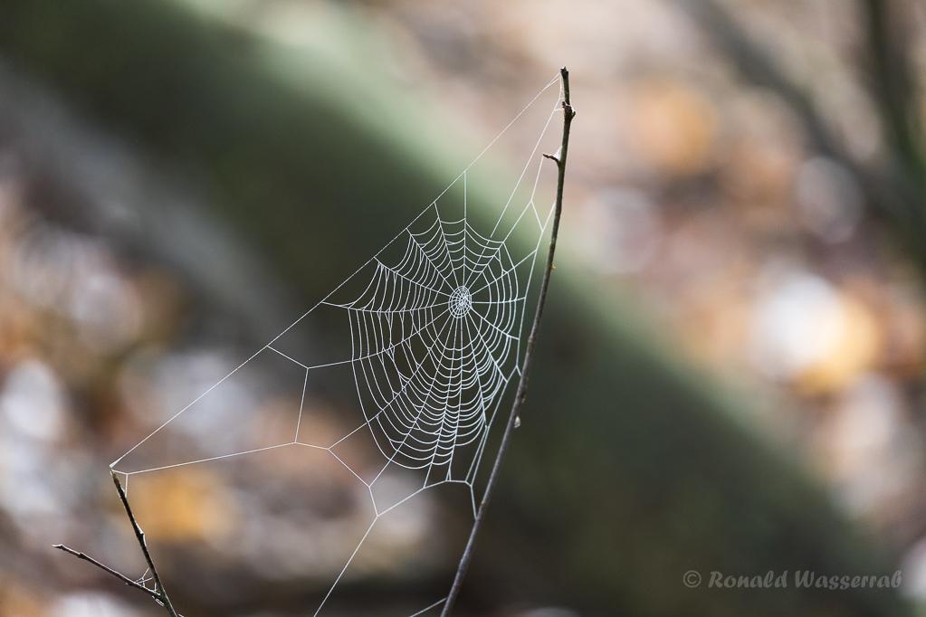 Spinnennetz im Meinweg