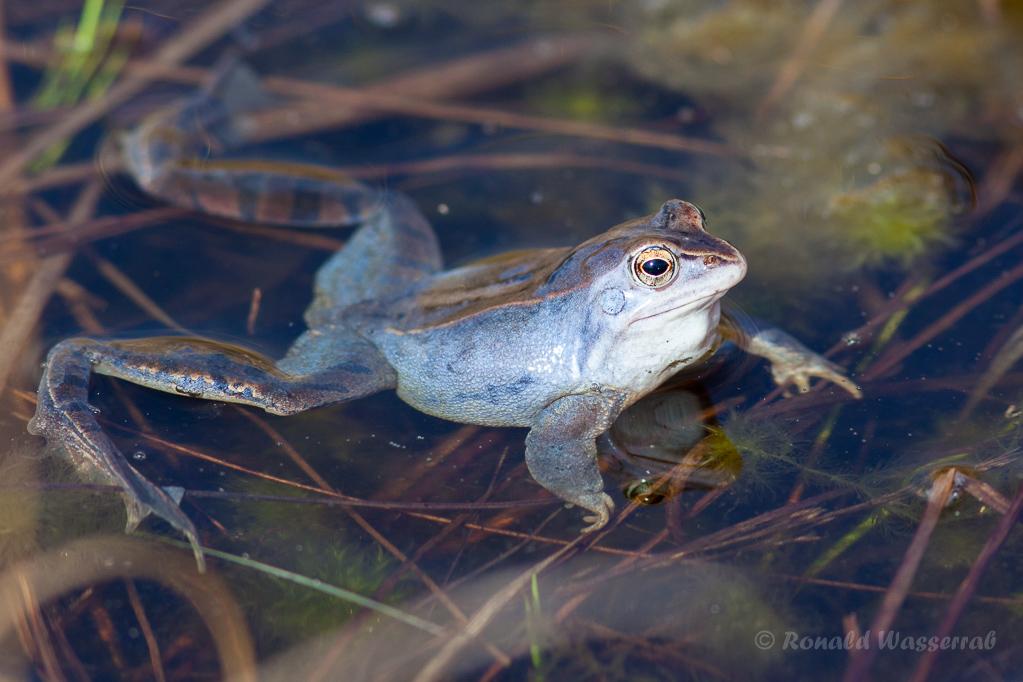 Moorfrosch im Meinweg