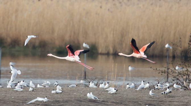 Durch die rosarote Brille – Flamingos im Zwillbrocker Venn