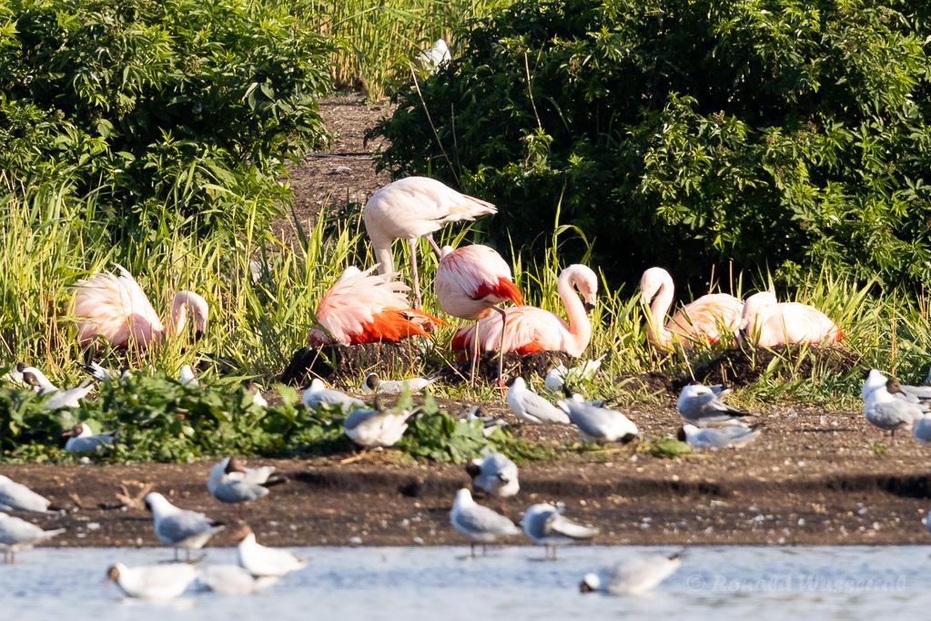 Brütende Flamingos im Zwillbrocker Venn