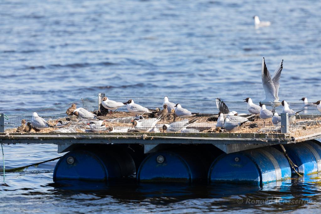 Lachmöwen-Küken und Flussseeschwalben